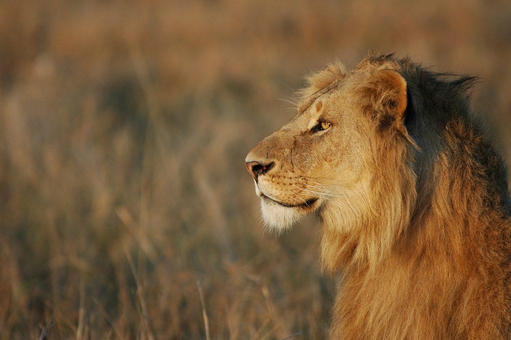 Lion - Masai Mara