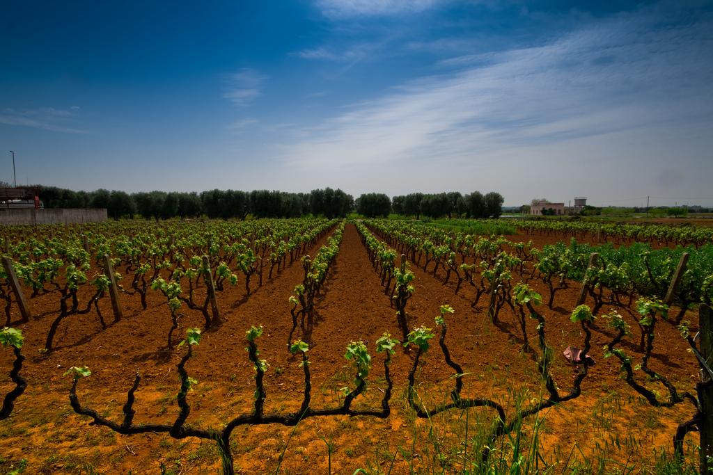 vineyard - Puglia